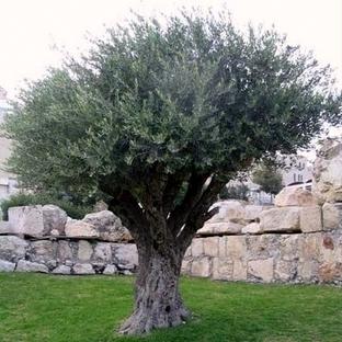 Arte olivo for Aiuola con ulivo